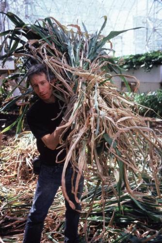 Collecting sorghum stems after harvest for animal fodder, Biosphere 2, 1991-1993.