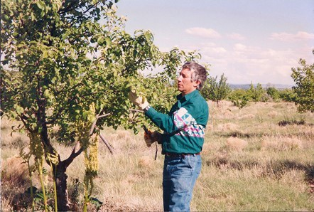 Pruning fruit trees in the Synergia Ranch orchard, mid 1990s.